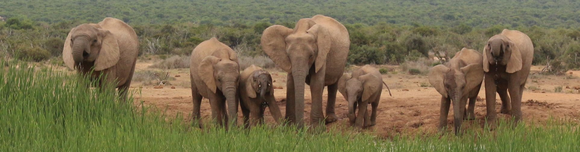 A herd of Elephants in Addo Elephant National Park