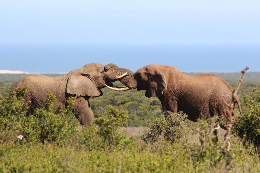 Elephants in Addo Elephant National Park with the Indian Ocean in the background